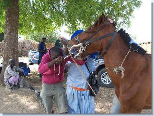 A horse receiving routine dental care at a mobile veterinary clinic. Click on image to enlarge.